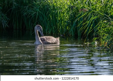 Juvenile mute cygnet swan searching for food in low setting autumn sunlight