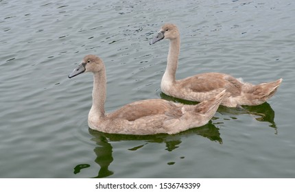 Juvenile mute swans in their patchy grey and brown plumage.