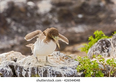 Juvenile Nazca Booby trying to fly from the lava rock in Espanola Island, Galapagos.