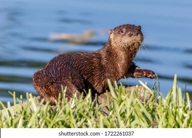 Juvenile North American river, northern or common otter found in a local homeowners neighborhood retention lake type pond canal in Coral Springs, Florida from the Everglades of Miami / Broward County