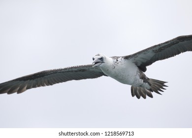 A juvenile Northern gannet (Morus bassanus) in flight hunting for fish far out in the North Sea.