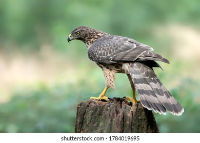 Juvenile Northern Goshawk (Accipiter gentilis) on a branch in the forest of Noord Brabant in the  Netherlands. Green background.