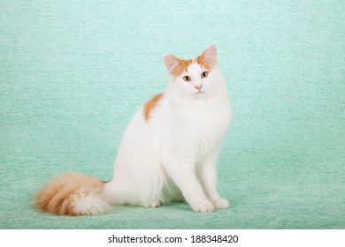 Juvenile Norwegian Forest Cat sitting on mint green background