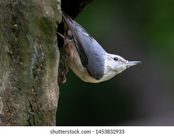 A juvenile nuthatch bird in local woodlands