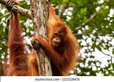 Juvenile Orangutan at Semenggoh in Sarawak, Malaysian Borneo