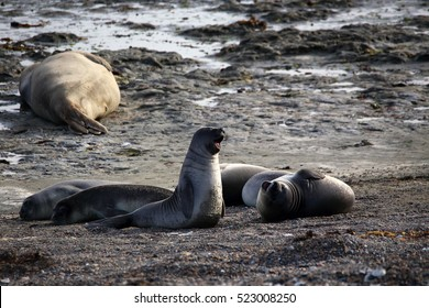 juvenile playful elephant seals