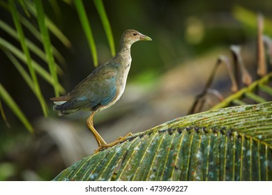 Juvenile Purple Gallinule,Porphyrio martinicus, colorful blue bird from Trinidad.  Water bird with red beak, long legs and toes adapted for walking in the swamp. Trinidad and Tobago.