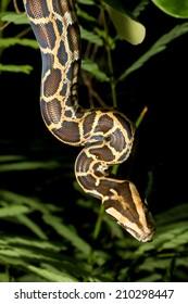 juvenile of python climbing through vegetation - detail of the snake head in its habitat