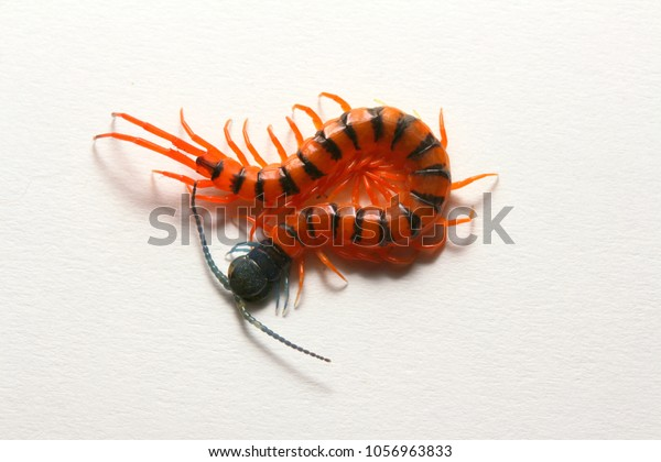 Juvenile Red Cherry Centipede Scolopendra Subspinipes Stock