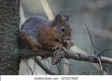 Juvenile red squirrel eating pine cone. Side profile. Taken late April.