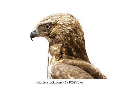 juvenile red tailed hawk or Buteo jamaicensis head isolated on white