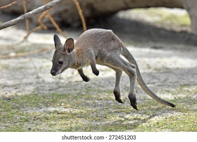 Juvenile Red-necked Wallaby (Macropus rufogriseus) juming around in its habitat