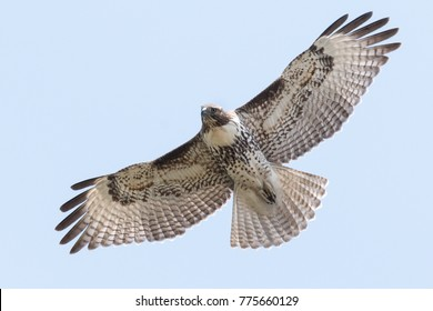 Juvenile Red-tailed Hawk flying with sky background