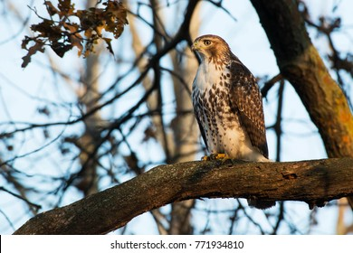 Juvenile Red-tailed Hawk perched on a branch in tn the late afternoon sun. High Park, Toronto, Ontario, Canada.