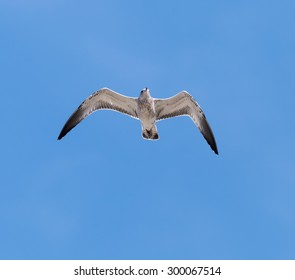 Juvenile Ring-billed Gull in Flight on Blue Sky