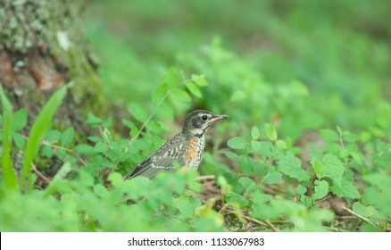 Juvenile robin in the grass