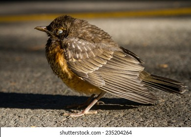 A juvenile robin rests on a sidewalk