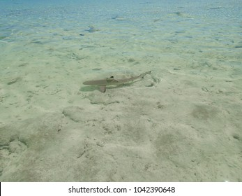 Juvenile shark at pacific lagoon