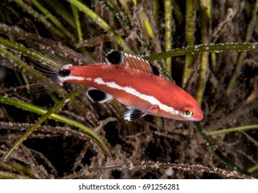Juvenile Sheep's head fish