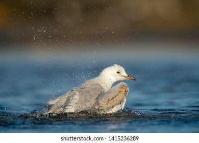 Juvenile Silver gull bathing in the sun.