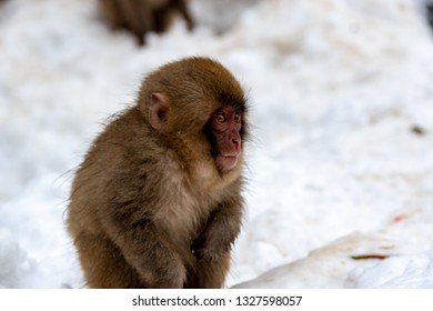 A juvenile snow monkey looking surprised