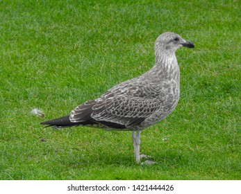 Juvenile southern black backed gull