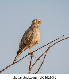 A juvenile Southern Pale Chanting Goshawk perched in a bush in Namibian savanna