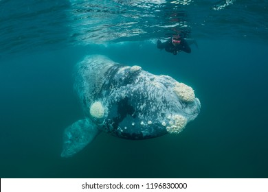 Juvenile southern right whale grey in color during the calving and mating season, Valdes Peninsula, Argentina.