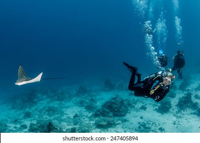 A juvenile Spotted Eagle Ray and a group of SCUBA divers