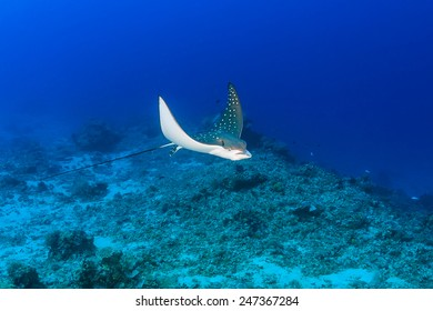 A juvenile Spotted Eagle Ray on a tropical coral reef