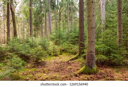 Juvenile spruce trees among old ones in spring, Bialowieza Forest