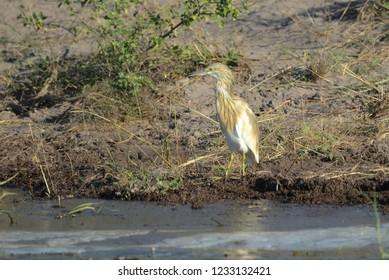 Juvenile Squacco Egret