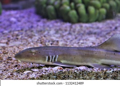The juvenile stage of Chiloscyllium punctatum,Bamboo Shark,Brown-spotted Cat Shark,Brown-banded Catshark. Juveniles have the bands and occasionlly spots. Family Hemiscylliidae.