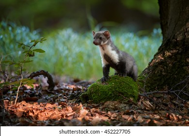 Juvenile Stone Marten, Martes foina in European forest, standing on mossy stone, staring at camera against blurred green background. Europe,Czech republic.