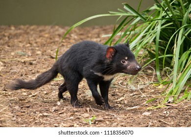A juvenile Tasmanian devil in the zoo