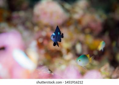 Juvenile threespot dascyllus and sea anemone