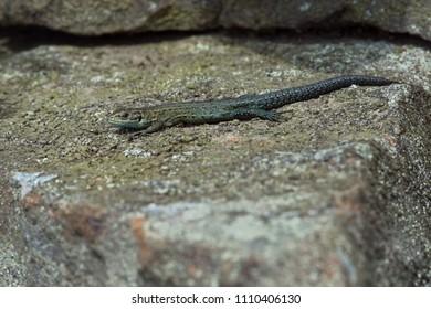 Juvenile Viviparous Lizard (Zootoca vivipara) basking on lichen covered stone wall