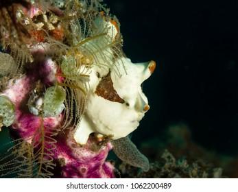 Juvenile warty frogfish (Antennarius maculatus)
