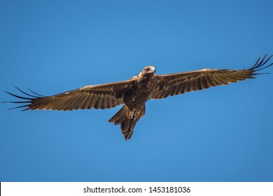 Juvenile Wedge Tail Eagle riding the thermal currents