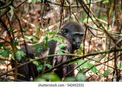 Juvenile Western lowland gorilla (Gorilla gorilla gorilla) close up at a short distance. Republic of Congo. Africa