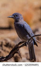 Juvenile Western Scrub-Jay(Aphelocoma californica)