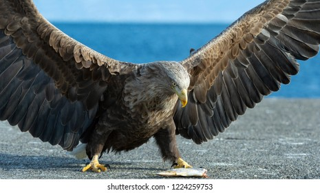 Juvenile White tailed eagle spreading wings. Scientific name: Haliaeetus albicilla, also known as the ern, erne, gray eagle, Eurasian sea eagle and white-tailed sea-eagle.