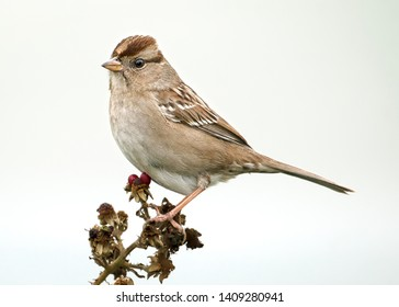Juvenile white-crowned sparrow perched on a branch with berries against a white background.