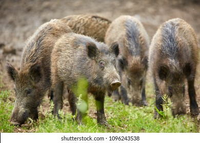 Juvenile wild hogs rooting, searching for food in the forest