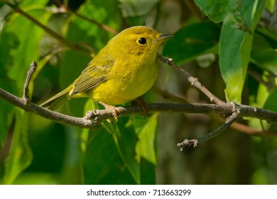 Juvenile Wilson's Warbler perched on a branch.