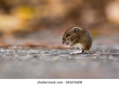 A juvenile wood mouse eats nuts and seeds along the side of the road.