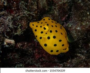 Juvenile yellow boxfish (Ostracion cubicus) hides under a coral shade.