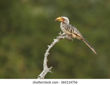 Juvenile Yellow-billed hornbill Tockus flavirostris, perched on dead tree in eye level. Spotted feather, soft light, green blurred background,South Africa.