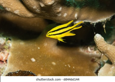 Juvenile Yellowtail Damselfish (Neoglyphidodon nigroris) in a coral reef