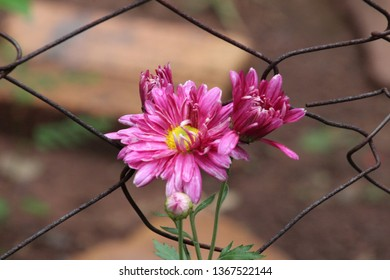 Juxtaposition, beautiful pink flower growing alongside an ugly rusted fence